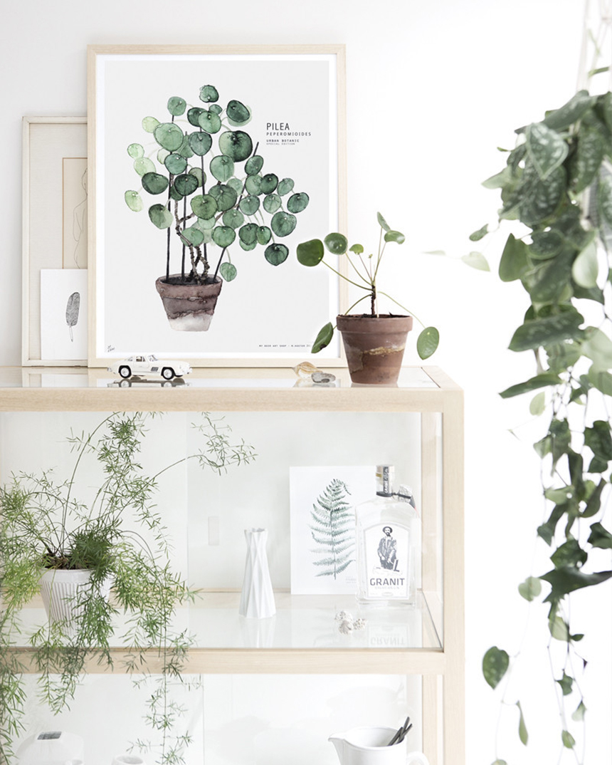 pilea suspension